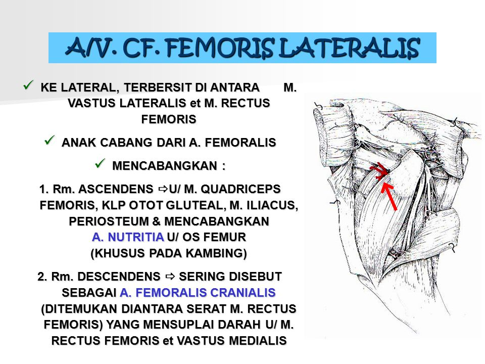 A/V. CF. FEMORIS LATERALIS KE LATERAL, TERBERSIT DI ANTARA M. VASTUS LATERALIS et M. RECTUS FEMORIS ANAK CABANG DARI A. FEMORALIS MENCABANGKAN : 1. Rm
