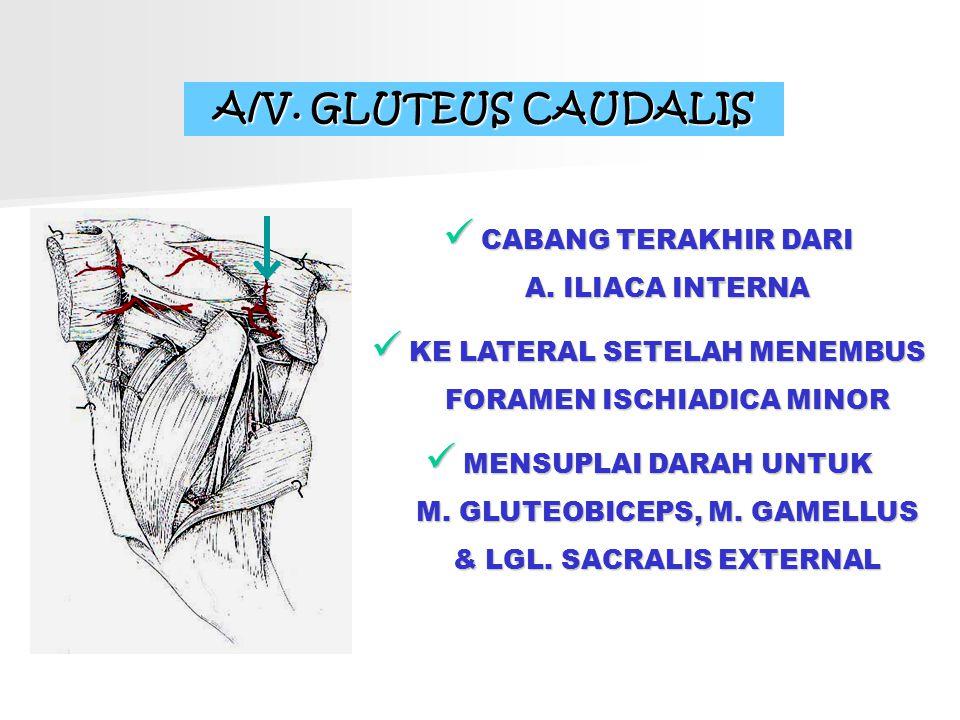 A/V. GLUTEUS CAUDALIS CABANG TERAKHIR DARI A. ILIACA INTERNA KE LATERAL SETELAH MENEMBUS FORAMEN ISCHIADICA MINOR MENSUPLAI DARAH UNTUK M. GLUTEOBICEP