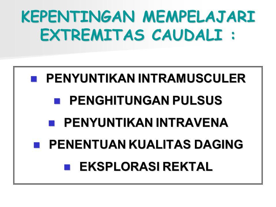 KEPENTINGAN MEMPELAJARI EXTREMITAS CAUDALI : PENYUNTIKAN INTRAMUSCULER PENGHITUNGAN PULSUS PENYUNTIKAN INTRAVENA PENENTUAN KUALITAS DAGING EKSPLORASI