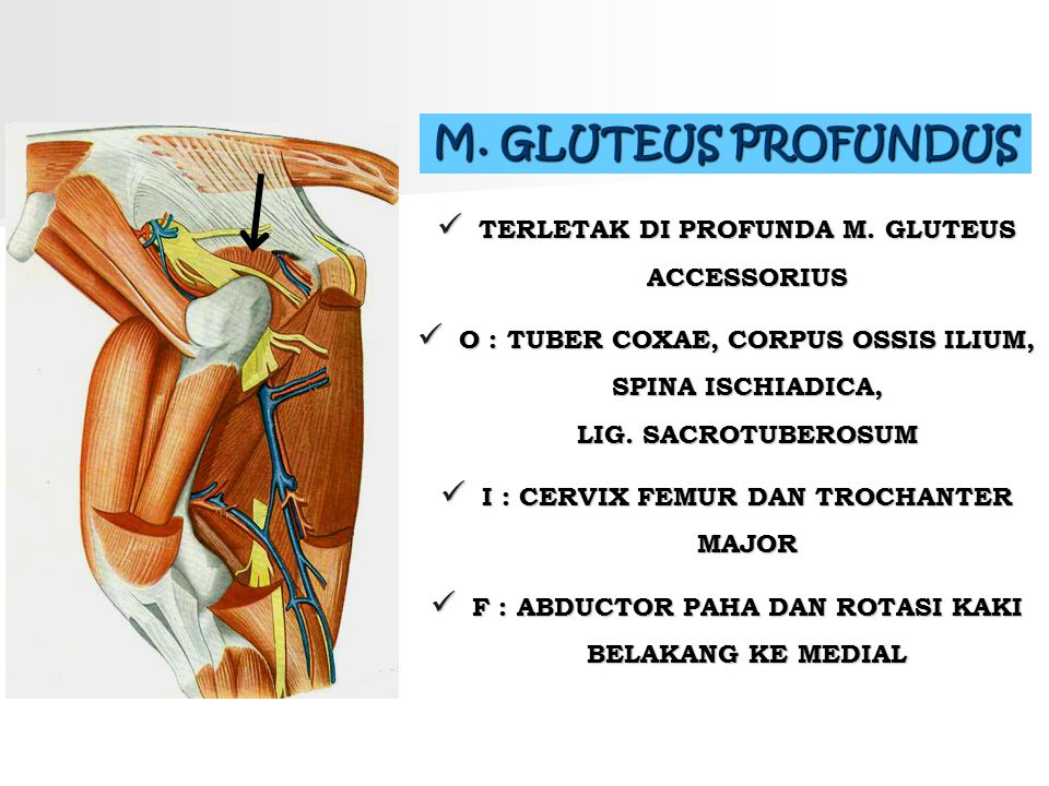 M. GLUTEUS PROFUNDUS TERLETAK DI PROFUNDA M. GLUTEUS ACCESSORIUS O : TUBER COXAE, CORPUS OSSIS ILIUM, SPINA ISCHIADICA, LIG. SACROTUBEROSUM I : CERVIX