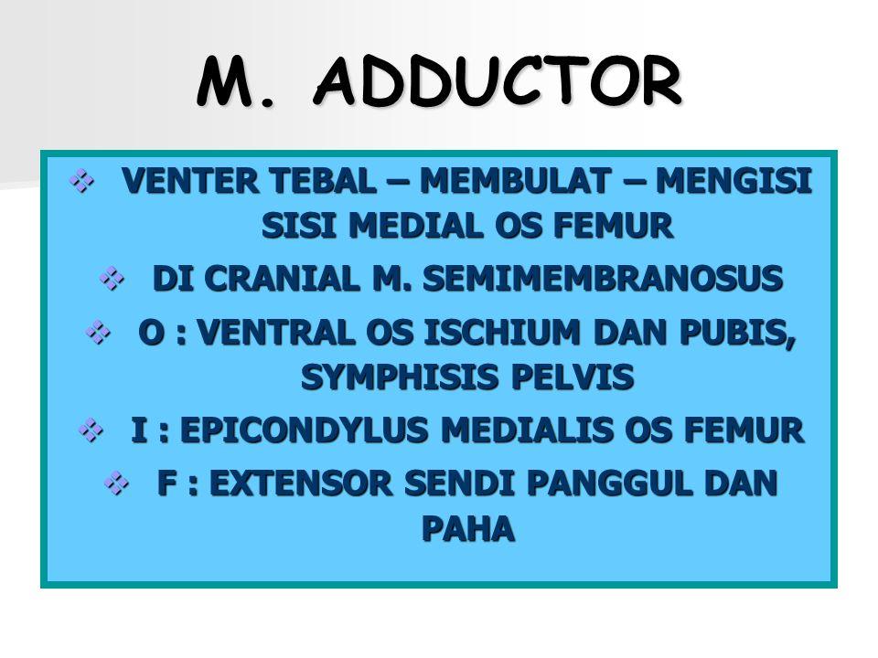 M. ADDUCTOR VVVVENTER TEBAL – MEMBULAT – MENGISI SISI MEDIAL OS FEMUR DDDDI CRANIAL M. SEMIMEMBRANOSUS OOOO : VENTRAL OS ISCHIUM DAN PUBIS