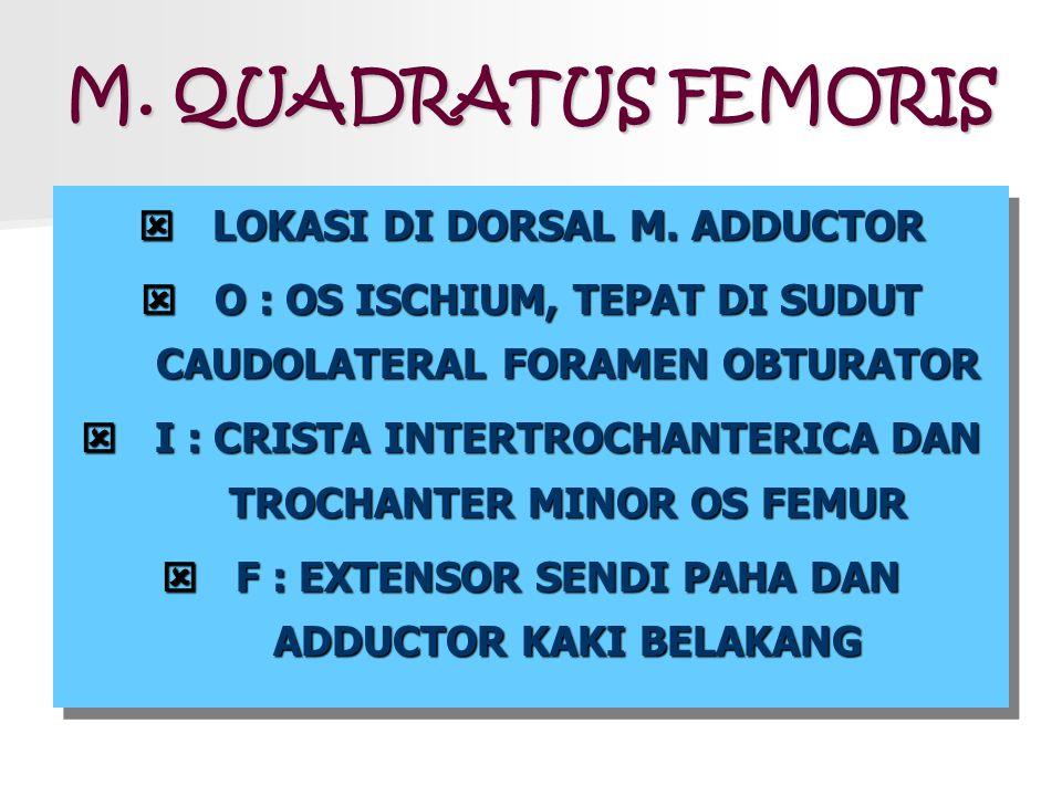 M. QUADRATUS FEMORIS  LOKASI DI DORSAL M. ADDUCTOR  O : OS ISCHIUM, TEPAT DI SUDUT CAUDOLATERAL FORAMEN OBTURATOR  I : CRISTA INTERTROCHANTERICA DA