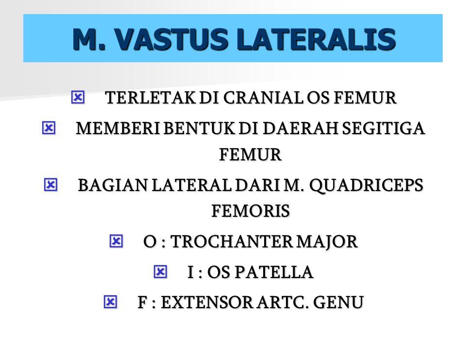 M. VASTUS LATERALIS TTTTERLETAK DI CRANIAL OS FEMUR MMMMEMBERI BENTUK DI DAERAH SEGITIGA FEMUR BBBBAGIAN LATERAL DARI M. QUADRICEPS FEMORI