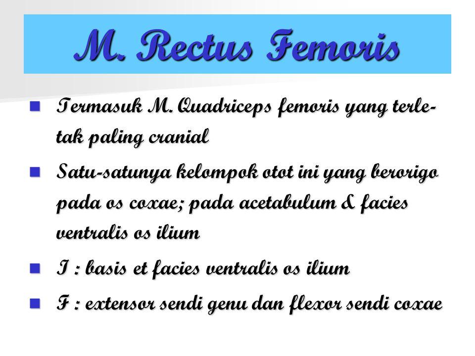 M. Rectus Femoris Termasuk M. Quadriceps femoris yang terle- tak paling cranial Satu-satunya kelompok otot ini yang berorigo pada os coxae; pada aceta