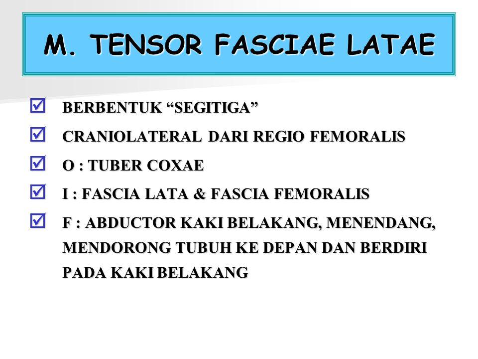"M. TENSOR FASCIAE LATAE  BERBENTUK ""SEGITIGA""  CRANIOLATERAL DARI REGIO FEMORALIS  O : TUBER COXAE  I : FASCIA LATA & FASCIA FEMORALIS  F : ABDUC"