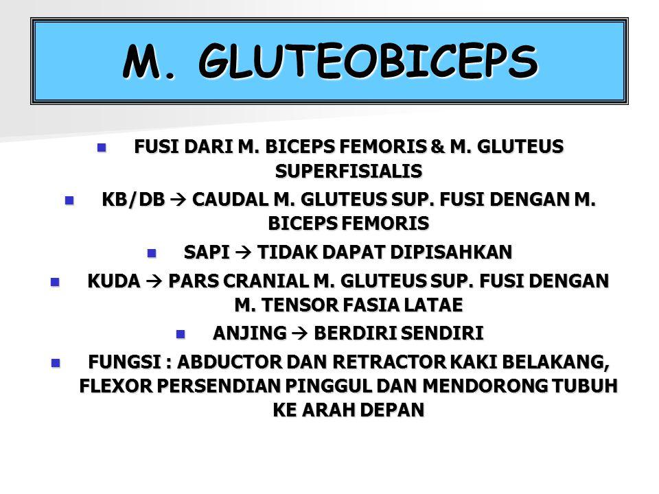 M. GLUTEOBICEPS FUSI DARI M. BICEPS FEMORIS & M. GLUTEUS SUPERFISIALIS KB/DB  CAUDAL M. GLUTEUS SUP. FUSI DENGAN M. BICEPS FEMORIS SAPI  TIDAK DAPAT