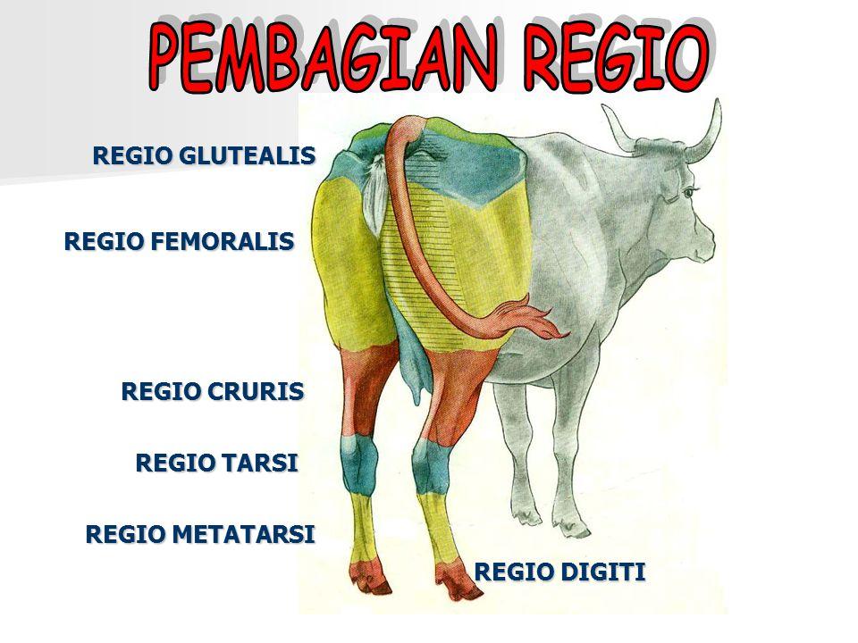 REGIO GLUTEALIS REGIO FEMORALIS REGIO CRURIS REGIO TARSI REGIO METATARSI REGIO DIGITI