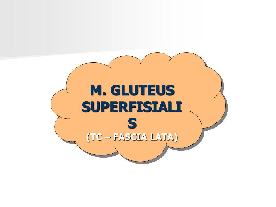 M. GLUTEUS SUPERFISIALI S (TC – FASCIA LATA) M. GLUTEUS SUPERFISIALI S (TC – FASCIA LATA)