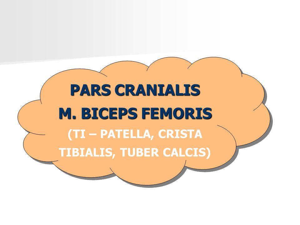 PARS CRANIALIS M. BICEPS FEMORIS (TI – PATELLA, CRISTA TIBIALIS, TUBER CALCIS) PARS CRANIALIS M. BICEPS FEMORIS (TI – PATELLA, CRISTA TIBIALIS, TUBER