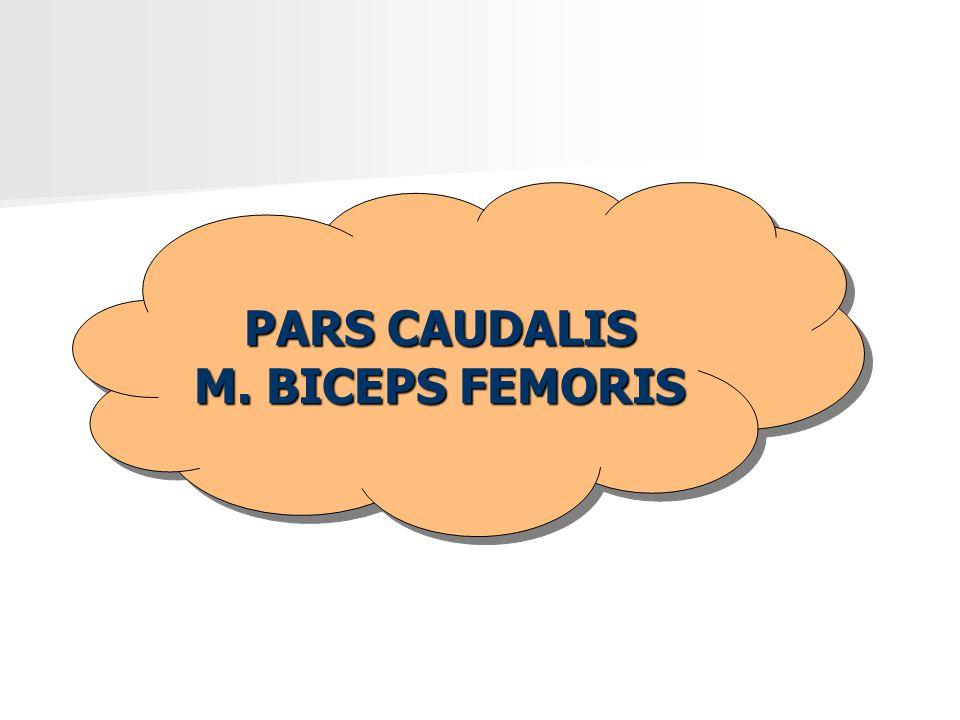 PARS CAUDALIS M. BICEPS FEMORIS PARS CAUDALIS M. BICEPS FEMORIS