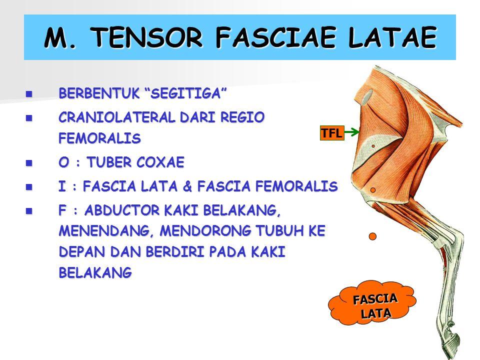 "M. TENSOR FASCIAE LATAE BERBENTUK ""SEGITIGA"" BERBENTUK ""SEGITIGA"" CRANIOLATERAL DARI REGIO FEMORALIS CRANIOLATERAL DARI REGIO FEMORALIS O : TUBER COXA"