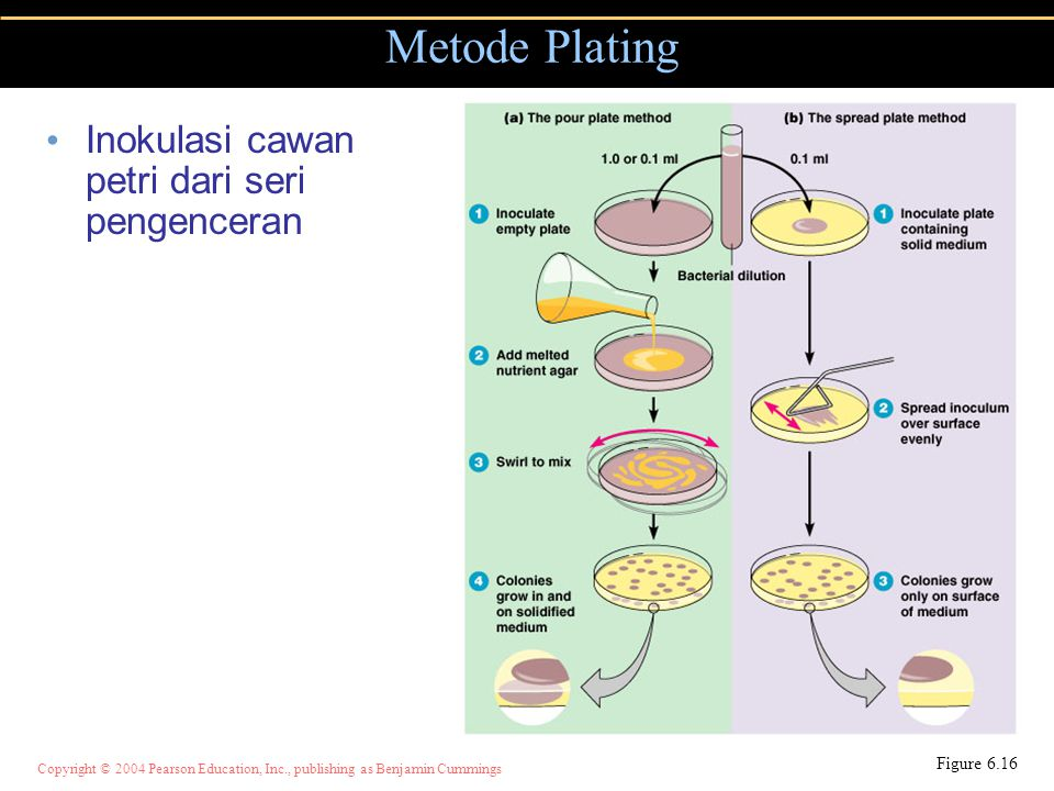 Copyright © 2004 Pearson Education, Inc., publishing as Benjamin Cummings Inokulasi cawan petri dari seri pengenceran Metode Plating Figure 6.16