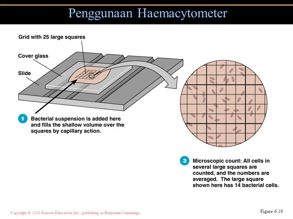 Copyright © 2004 Pearson Education, Inc., publishing as Benjamin Cummings Penggunaan Haemacytometer Figure 6.19