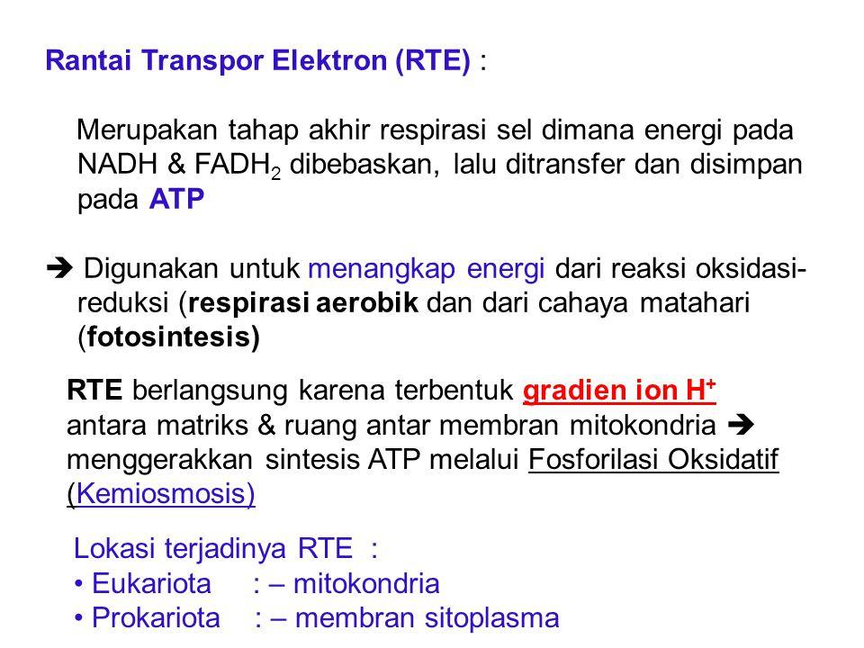 Rantai Transpor Elektron (RTE) : Merupakan tahap akhir respirasi sel dimana energi pada NADH & FADH 2 dibebaskan, lalu ditransfer dan disimpan pada AT