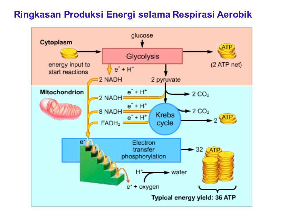 Ringkasan Produksi Energi selama Respirasi Aerobik