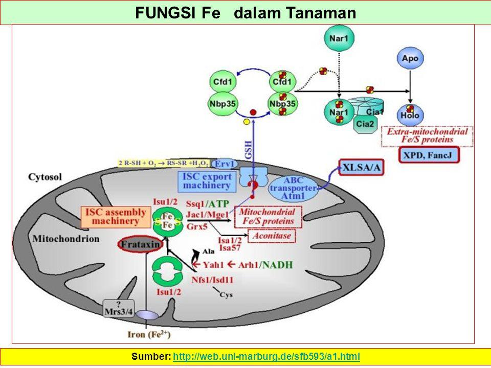 FUNGSI Fe dalam Tanaman Sumber: http://web.uni-marburg.de/sfb593/a1.htmlhttp://web.uni-marburg.de/sfb593/a1.html