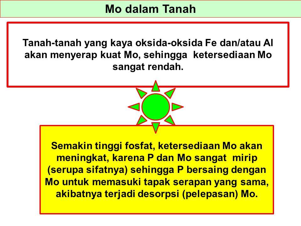 Mo dalam Tanah Tanah-tanah yang kaya oksida-oksida Fe dan/atau Al akan menyerap kuat Mo, sehingga ketersediaan Mo sangat rendah. Semakin tinggi fosfat
