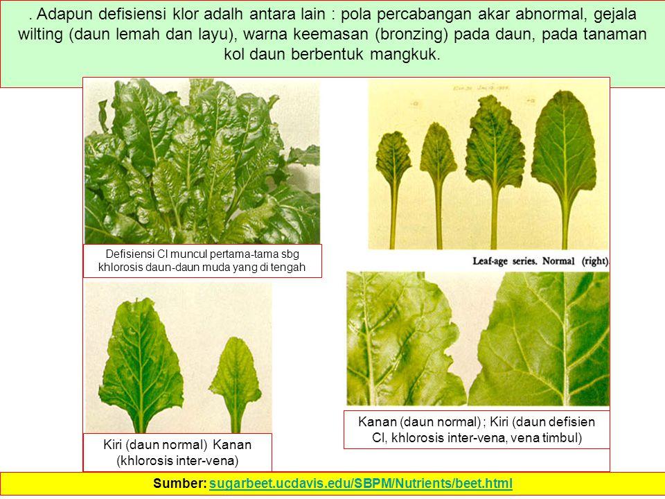 . Adapun defisiensi klor adalh antara lain : pola percabangan akar abnormal, gejala wilting (daun lemah dan layu), warna keemasan (bronzing) pada daun