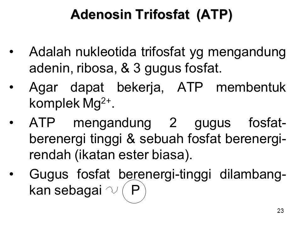23 Adenosin Trifosfat (ATP) Adalah nukleotida trifosfat yg mengandung adenin, ribosa, & 3 gugus fosfat.