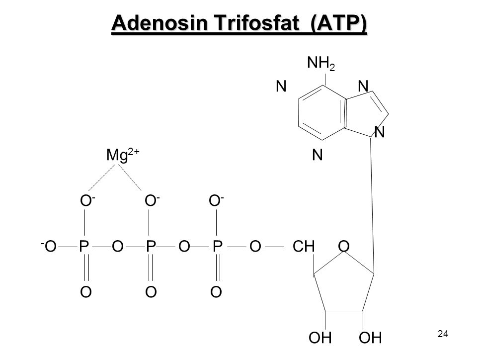 24 Adenosin Trifosfat (ATP) NH 2 N N N Mg 2+ N O - O - O - - O P O P O P O CH O O O O OH OH