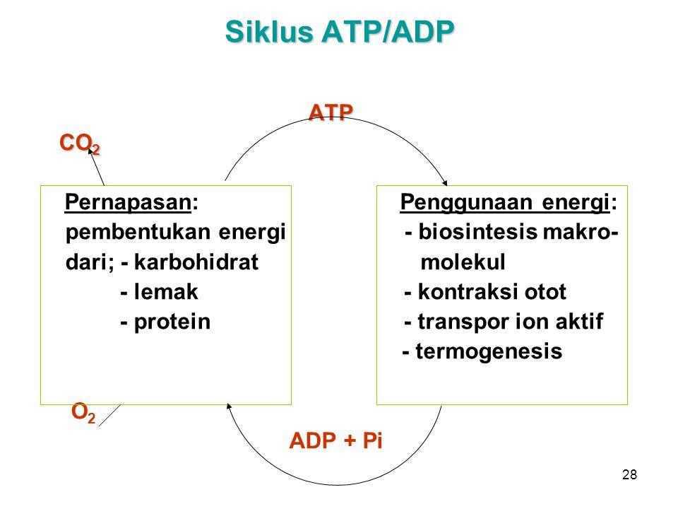 28 Siklus ATP/ADP ATP CO 2 Pernapasan: Penggunaan energi: pembentukan energi - biosintesis makro- dari; - karbohidrat molekul - lemak - kontraksi otot - protein - transpor ion aktif - termogenesis O 2 ADP + Pi