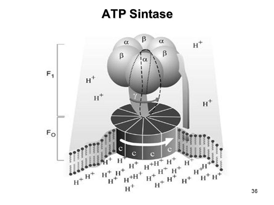 36 ATP Sintase