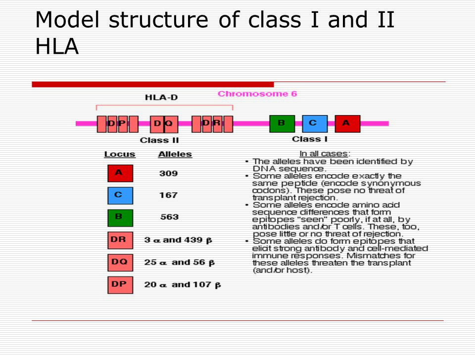 Model structure of class I and II HLA