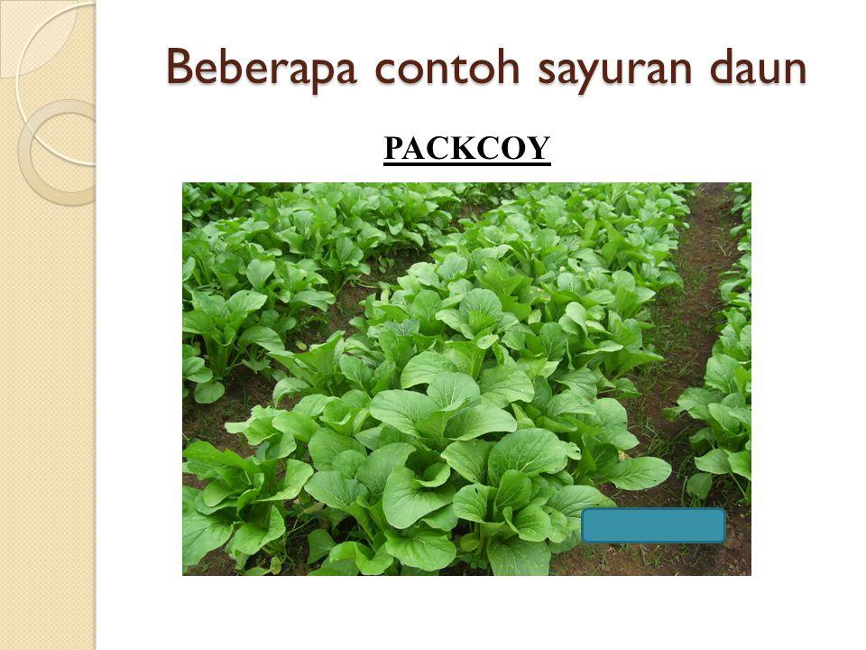 Beberapa contoh sayuran daun PACKCOY