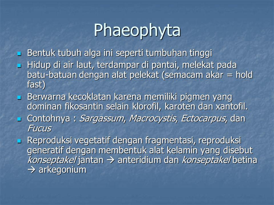 Phaeophyta Bentuk tubuh alga ini seperti tumbuhan tinggi Bentuk tubuh alga ini seperti tumbuhan tinggi Hidup di air laut, terdampar di pantai, melekat