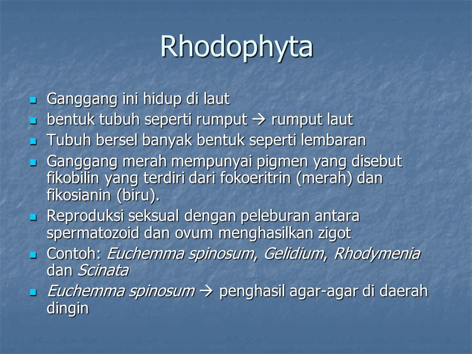 Rhodophyta Ganggang ini hidup di laut Ganggang ini hidup di laut bentuk tubuh seperti rumput  rumput laut bentuk tubuh seperti rumput  rumput laut T