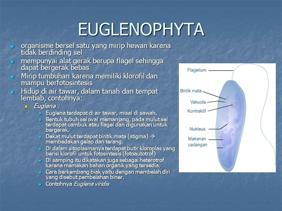 EUGLENOPHYTA organisme bersel satu yang mirip hewan karena tidak berdinding sel organisme bersel satu yang mirip hewan karena tidak berdinding sel mem