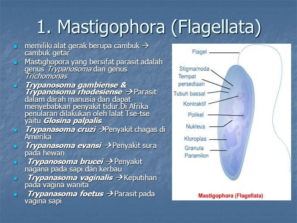 1. Mastigophora (Flagellata) memiliki alat gerak berupa cambuk  cambuk getar memiliki alat gerak berupa cambuk  cambuk getar Mastighopora yang bersi