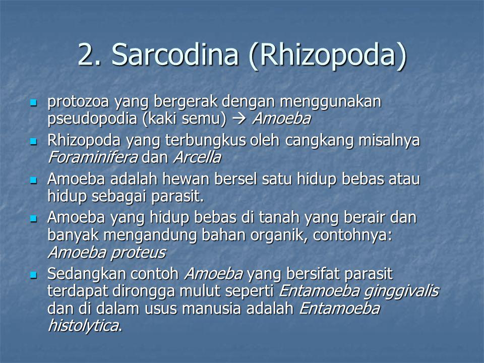 2. Sarcodina (Rhizopoda) protozoa yang bergerak dengan menggunakan pseudopodia (kaki semu)  Amoeba protozoa yang bergerak dengan menggunakan pseudopo