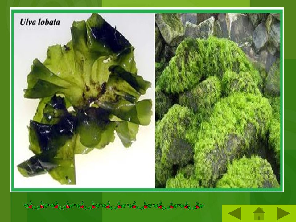 e.Alga Hijau (Chorophyta) CCiri-ciri : 1.Mengandung klorifil a dan b,  -karoten, santofil. 2.Ada yang bersel satu, ada yang membentuk koloni. 3.Ben