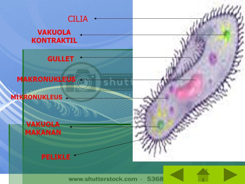 1.Cilliata a.Cilliata dicirikan adanya rambut- rambut getar diseluruh tubuhnya. Memiliki makronukleus, mikronukleus, serta vakuola sebagai alat osmore