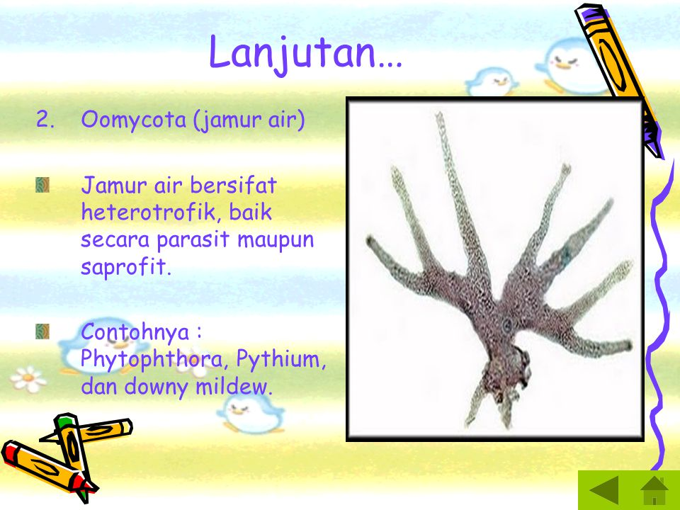 Lanjutan… 2.Oomycota (jamur air) Jamur air bersifat heterotrofik, baik secara parasit maupun saprofit.
