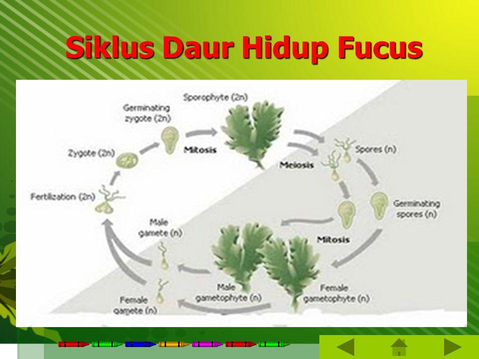Siklus Daur Hidup Fucus