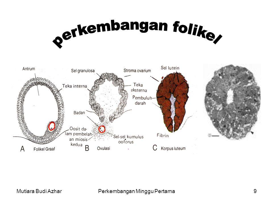 Mutiara Budi AzharPerkembangan Minggu Pertama10 Perubahan dalam ovarium setelah ovulasi Setelah ovulasi, sisa sel folikuler pada dinding folikel yang pecah mendapatkan vaskularisasi dari pembuluh darah di sekitarnya corpus rubrum.
