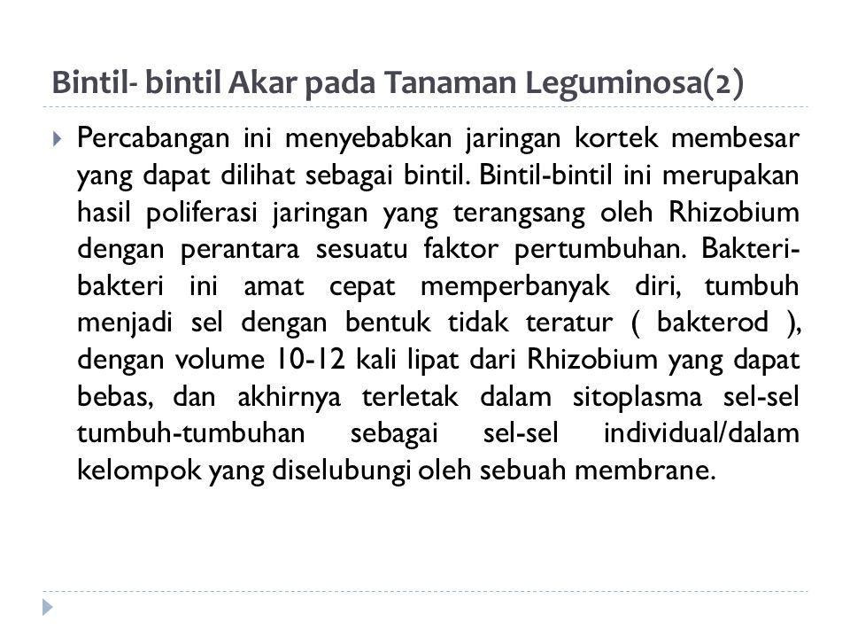 Bintil- bintil Akar pada Tanaman Leguminosa(3)  Tipe bintil akar : 1.