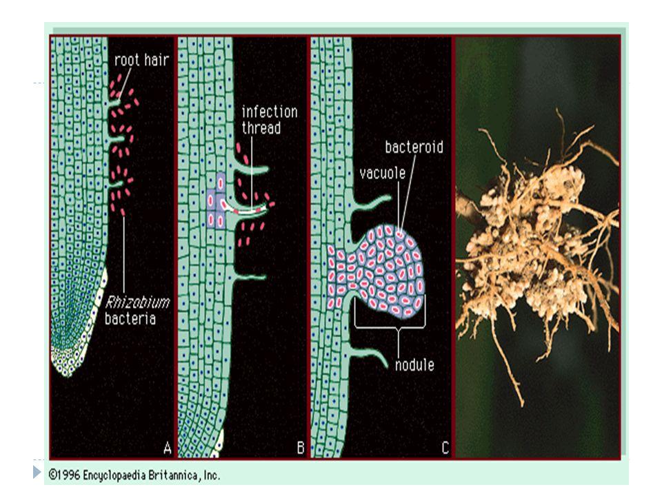 (6)  Kandungan N dalam tanah (khususnya dalam bentuk NO3 - ) dapat menghambat proses nodulasi dan fiksasi N2 oleh bakteri rhizobia yang bersimbiosis dengan tanaman legum.