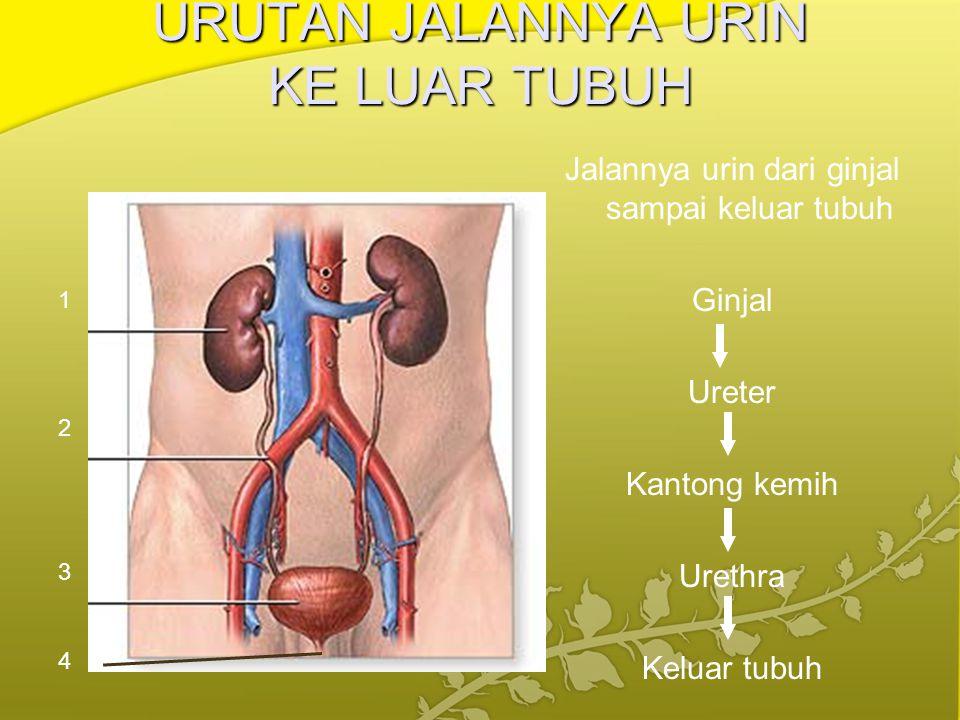 URUTAN JALANNYA URIN KE LUAR TUBUH Jalannya urin dari ginjal sampai keluar tubuh Ginjal Ureter Kantong kemih Urethra Keluar tubuh 1 2 3 4