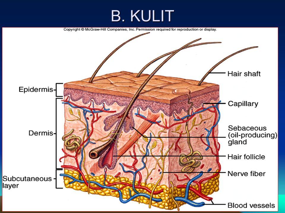 Terdiri dari lapisan apa sajakah kulit .