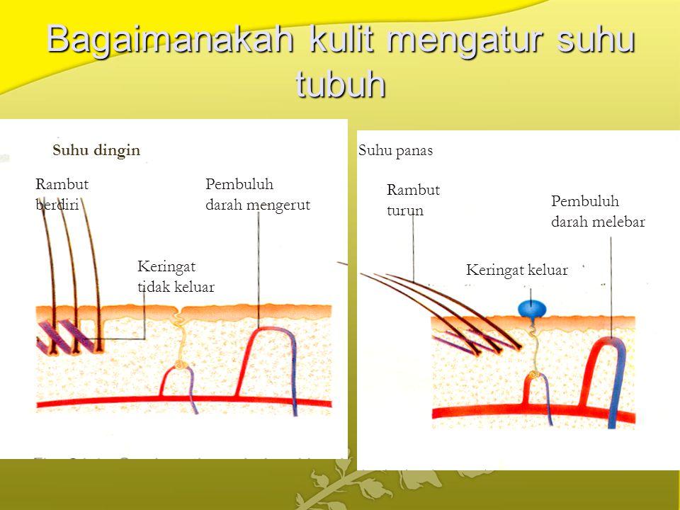 Bagaimanakah kulit mengatur suhu tubuh Suhu dingin Pembuluh darah mengerut Keringat tidak keluar Rambut berdiri Pembuluh darah melebar Rambut turun Ke