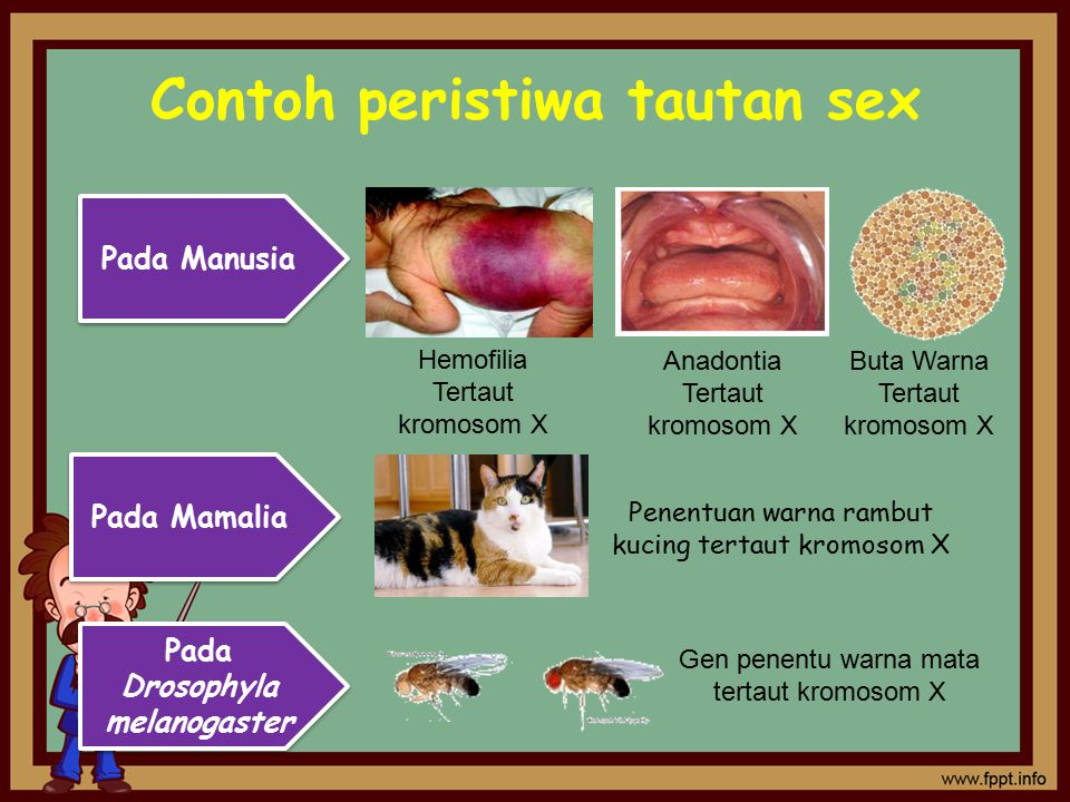 Contoh peristiwa tautan sex Pada Manusia Hemofilia Tertaut kromosom X Anadontia Tertaut kromosom X Buta Warna Tertaut kromosom X Pada Mamalia Penentua
