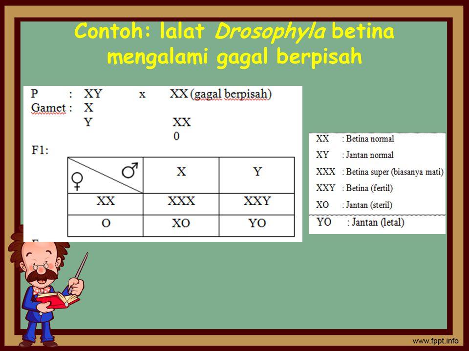 Contoh: lalat Drosophyla betina mengalami gagal berpisah