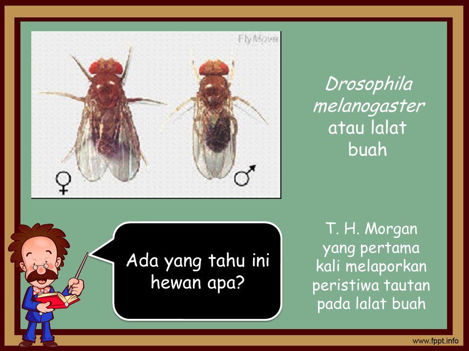 Ada yang tahu ini hewan apa? Drosophila melanogaster atau lalat buah T. H. Morgan yang pertama kali melaporkan peristiwa tautan pada lalat buah