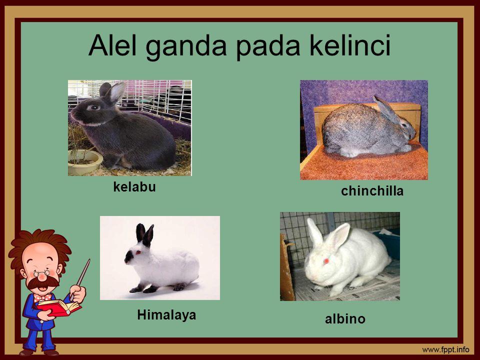Alel ganda pada kelinci kelabu chinchilla Himalaya albino