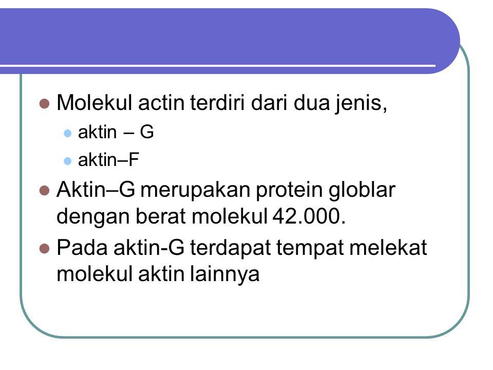 Molekul actin terdiri dari dua jenis, aktin – G aktin–F Aktin–G merupakan protein globlar dengan berat molekul 42.000. Pada aktin-G terdapat tempat me