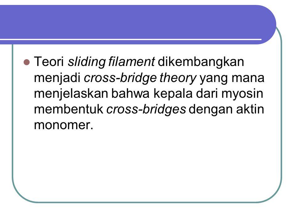 Teori sliding filament dikembangkan menjadi cross-bridge theory yang mana menjelaskan bahwa kepala dari myosin membentuk cross-bridges dengan aktin mo