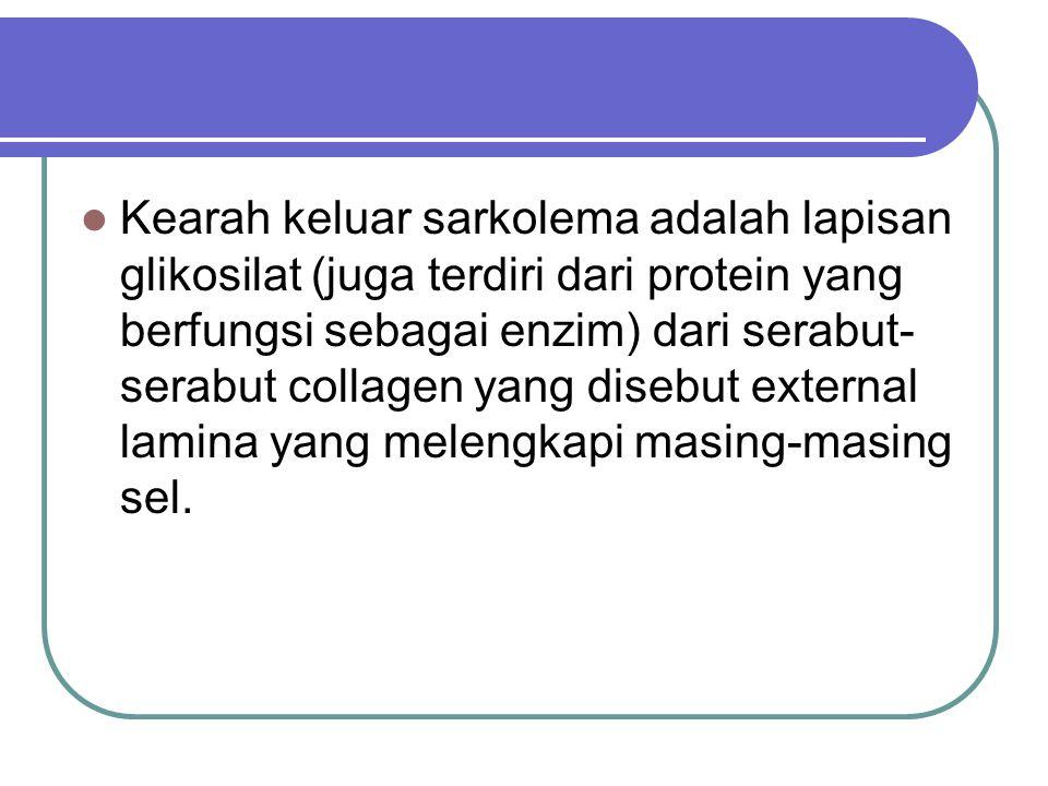 Kearah keluar sarkolema adalah lapisan glikosilat (juga terdiri dari protein yang berfungsi sebagai enzim) dari serabut- serabut collagen yang disebut